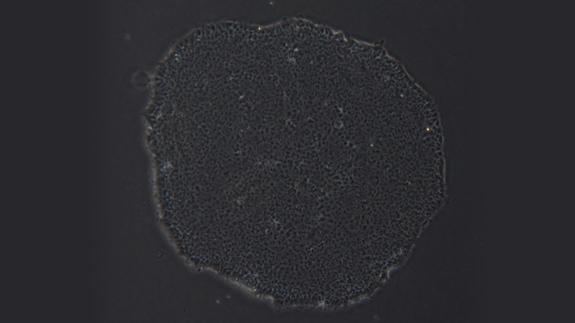 H9人胚胎干细胞系